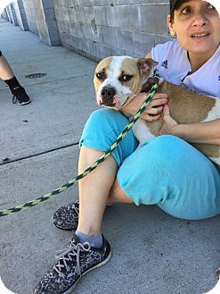 American Staffordshire Terrier/English Bulldog Mix Dog for adoption in Park Ridge, New Jersey - Stella