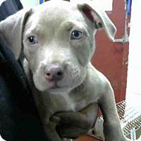 Adopt A Pet :: HAVANA - Atlanta, GA