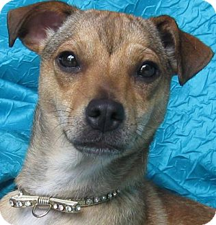 Terrier (Unknown Type, Medium) Mix Dog for adoption in Cuba, New York - Trixie Smokey