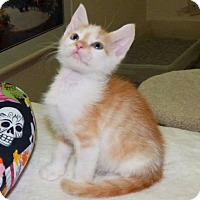 Domestic Shorthair Kitten for adoption in Land O Lakes, Florida - Rupert