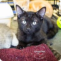 Domestic Shorthair Kitten for adoption in Mooresville, North Carolina - A..  Warren