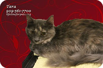 Domestic Mediumhair Kitten for adoption in Monrovia, California - A Young Female: TARA