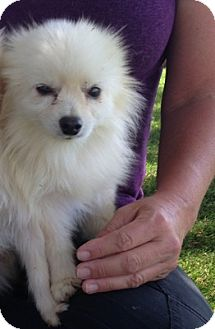 Pomeranian Dog for adoption in Temecula, California - Mickey