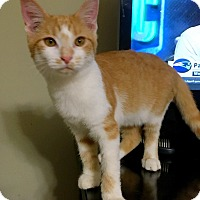 Domestic Shorthair Kitten for adoption in Chattanooga, Tennessee - Ollivander