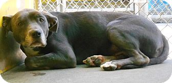 Pit Bull Terrier Mix Dog for adoption in Redding, California - Kimber
