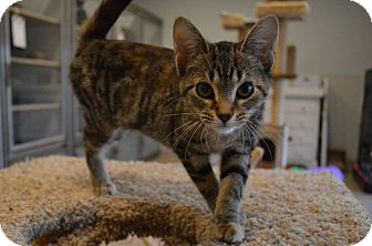 Domestic Shorthair Kitten for adoption in St. Charles, Missouri - Lily