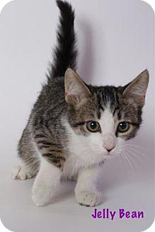 Domestic Shorthair Cat for adoption in Baton Rouge, Louisiana - Jelly Bean
