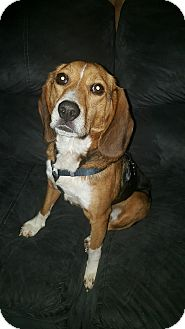 Beagle Dog for adoption in Union Grove, Wisconsin - Max AKA Bentley