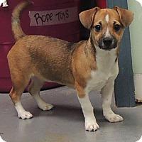 Adopt A Pet :: Jade - House Springs, MO