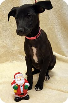 Labrador Retriever Puppy for adoption in Sterling, Massachusetts - Avail 12/1 Pen 3 Lab Mix 10weeks 1Female