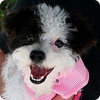 Adopt A Pet :: Emmy - La Costa, CA
