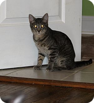 Domestic Shorthair Kitten for adoption in Hayes, Virginia - Lilo