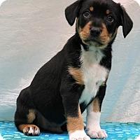 Adopt A Pet :: Zane - Hagerstown, MD