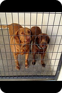 Labrador Retriever Dog for adoption in Spring Valley, New York - Candie & Diamond