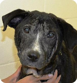Labrador Retriever Mix Dog for adoption in Houston, Texas - Lupita