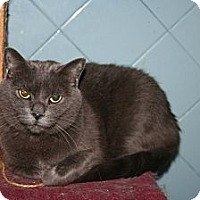 Russian Blue Cat for adoption in Santa Rosa, California - Shannon