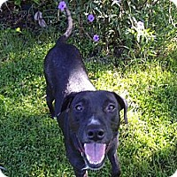 Labrador Retriever/American Pit Bull Terrier Mix Dog for adoption in Holmes Beach, Florida - Keera
