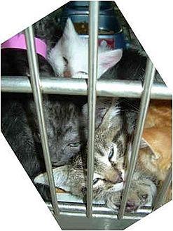 American Shorthair Kitten for adoption in Harbor City, California - More Downey Kittens