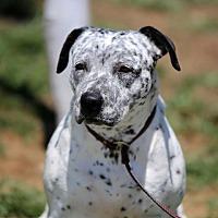 Dalmatian Mix Dog for adoption in San Diego, California - Maya