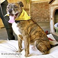 Husky/Boxer Mix Dog for adoption in Burbank, California - Handsome Coffee-VIDEOS