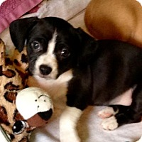 Adopt A Pet :: Ep Litter - Blessing - APPLICATIONS CLOSED - Livonia, MI