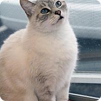 Siamese Cat for adoption in Verona, Wisconsin - Xena
