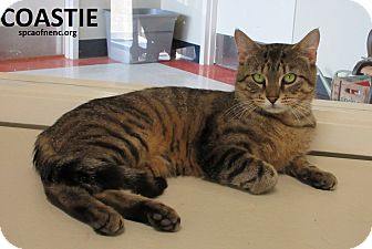 Domestic Shorthair Cat for adoption in Elizabeth City, North Carolina - Coastie