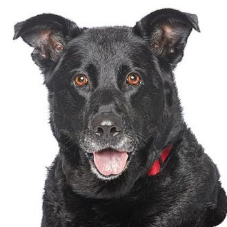 Labrador Retriever/German Shepherd Dog Mix Dog for adoption in Los Angeles, California - Molly