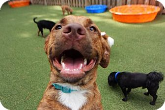 Pit Bull Terrier/Labrador Retriever Mix Dog for adoption in Richmond, Virginia - Dylan