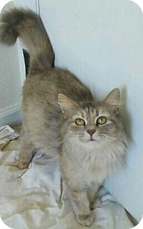 Domestic Mediumhair Cat for adoption in Virginia Beach, Virginia - Barn CATS