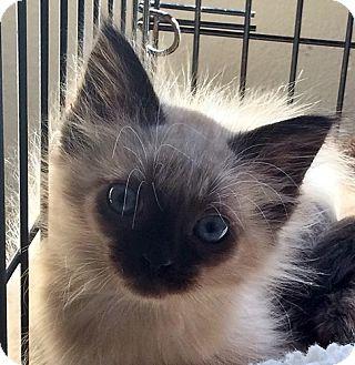 Oriental Kitten for adoption in Santa Fe, New Mexico - Rosario