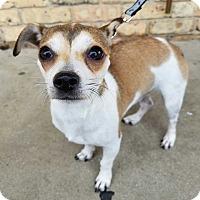 Rat Terrier Mix Dog for adoption in Allen, Texas - Luna