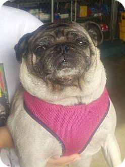 Pug Dog for adoption in Gardena, California - Ruby Rose