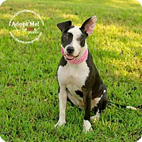 Adopt A Pet :: Sugar - Houston, TX