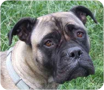 Bullmastiff Dog for adoption in North Port, Florida - Dazey