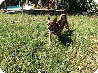 Chihuahua Mix Dog for adoption in Hamilton, Ontario - Tuco