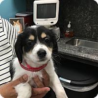 Adopt A Pet :: Rodeo - Thousand Oaks, CA