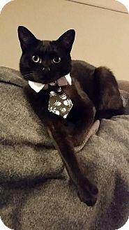 Domestic Shorthair Cat for adoption in Livonia, Michigan - Neptune with Honey Pillsbury