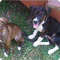 Adopt A Pet :: Brownie - Ooltewah, TN