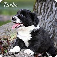 Adopt A Pet :: Turbo - Albany, NY