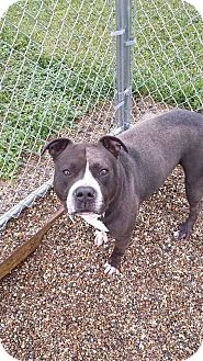 American Pit Bull Terrier Mix Dog for adoption in St. Charles, Missouri - Bones/Courtesy Posting!