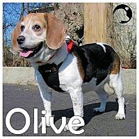 Adopt A Pet :: Olive - Novi, MI