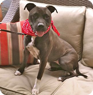 Staffordshire Bull Terrier/American Staffordshire Terrier Mix Dog for adoption in Burbank, California - Cute Daisy