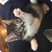 Adopt A Pet :: Sophia - Island Park, NY