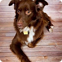 Adopt A Pet :: Teddy - MINI AUSSIE - Mesquite, TX