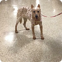 Adopt A Pet :: Scarlett - Delaware, OH