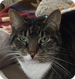 Domestic Shorthair Cat for adoption in New Windsor, New York - Frisky