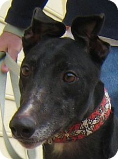 Greyhound Dog for adoption in Oak Ridge, North Carolina - Foxy