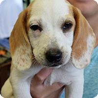 Adopt A Pet :: Polly - Memphis, TN