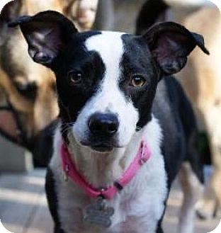 Jack Russell Terrier Mix Dog for adoption in Alpharetta, Georgia - Stevonnie